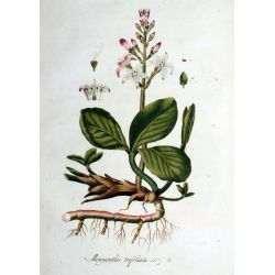 MENYANTHE FEUILLE COUPEE IPHYM Herboristerie Menyanthes trifoliata L.
