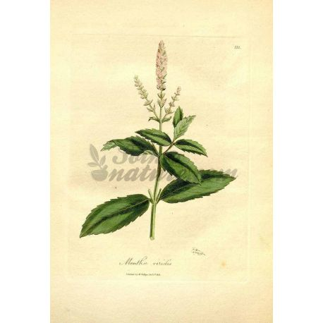 MENTHE DOUCE FEUILLE ENTIERE IPHYM Herboristerie Mentha viridis L.