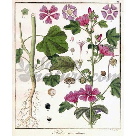 MAUVE SAUVAGE FEUILLE COUPEE IPHYM Herboristerie Malva sylvestris L.