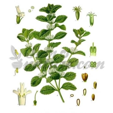 MARRUBE BLANC PLANTE COUPEE IPHYM Herboristerie Marrubium vulgare L.