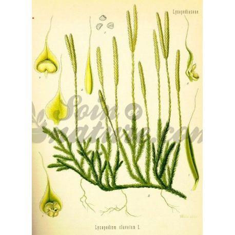 LYCOPODE PLANTE COUPEE IPHYM Herboristerie Lycopodium clavatum L.