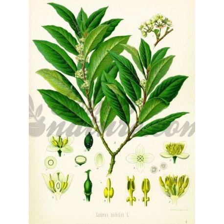 LAURIER FEUILLE COUPEE IPHYM Herboristerie Laurus nobilis