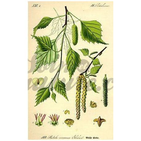BOULEAU ECORCE COUPEE IPHYM Herboristerie Betula alba L.