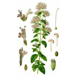 ORIGAN SOMMITE COUPEE IPHYM Herboristerie Origanum vulgare L.