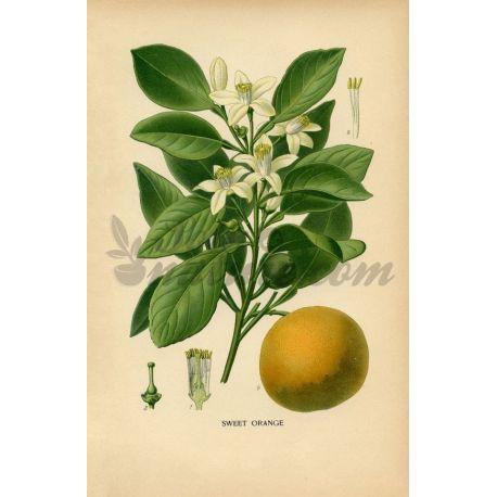 ORANGER DOUX ECORCE COUPEE IPHYM Herboristerie Citrus aurantium var dulcis
