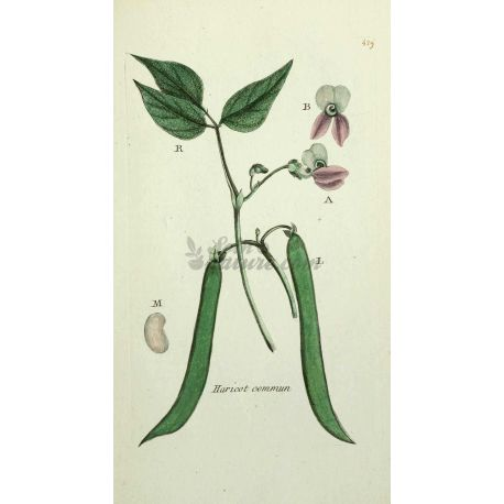 HARICOT COSSE COUPEE IPHYM Herboristerie Phaseolus vulgaris L.