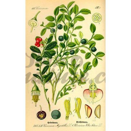 AIRELLE BAIE MYRTILLE ENTIERE IPHYM Herboristerie Vaccinium myrtillus L.
