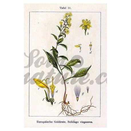Rand van PLANT of knippen Solidago virga aurea IPHYM Herbalism