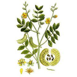 SENE FOLHETO CHEIO (folha) IPHYM Herbalism Cassia senna / Cassia angustifolia