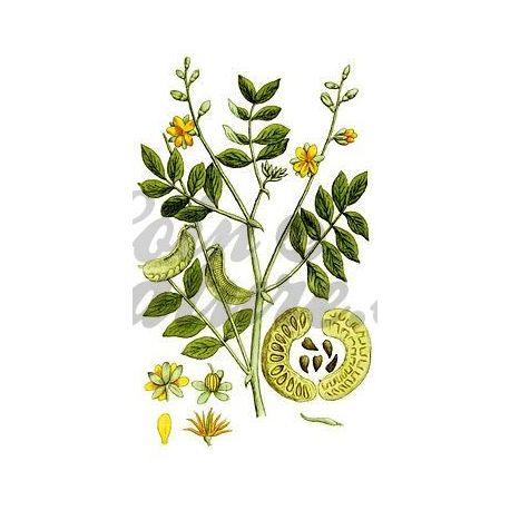 SENE PAMFLET FULL (blad) IPHYM Herbalism Cassia senna / Cassia angustifolia