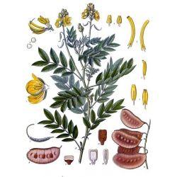 Senna folículo Cut IPHYM herboristería Cassia angustifolia