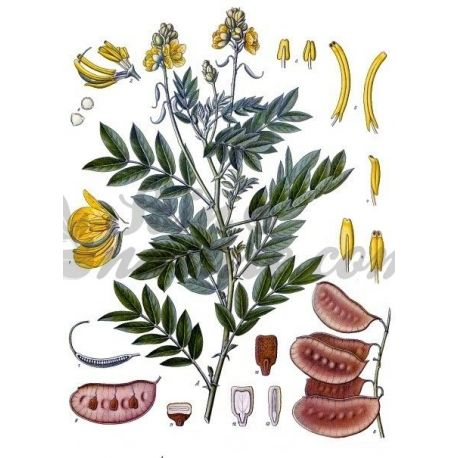 Senna fol·licle Cut IPHYM herboristeria Cassia angustifolia