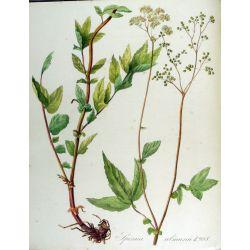 MEADOWSWEET luminar CUT IPHYM Herbalism Spirea ulmaria L. / Meadowsweet