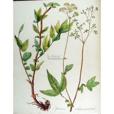 Moerasspirea uitblinker CUT IPHYM Herbalism Spirea ulmaria L. / moerasspirea