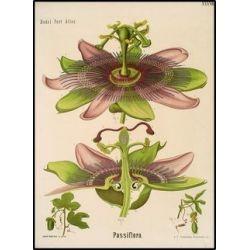 Passiflora - Impianto tagliare 250 g pacchetto