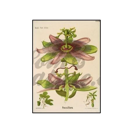 PASSIFLORE PLANT CUT IPHYM Herbalism Passiflora incarnata L.