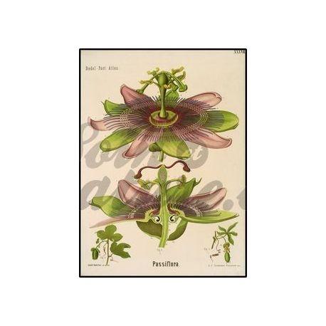 PASSIFLORE plante coupée IPHYM Herboristerie Passiflora incarnata L.
