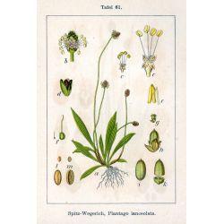 Bakbananen SHEET CUT Plantago lanceolata L. IPHYM Herbalism
