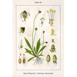 PLANTAIN FEUILLE COUPEE IPHYM Herboristerie Plantago lanceolata L.