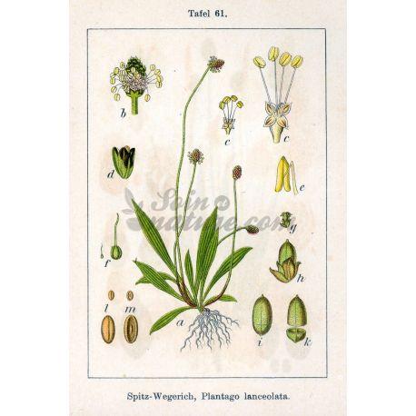 FICHA PLANTAINS CUT Plantago lanceolata L. IPHYM Herbalism
