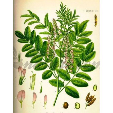 Réglisse arrecadou CUT IPHYM Herbalism Glycyrrhiza glabra L.