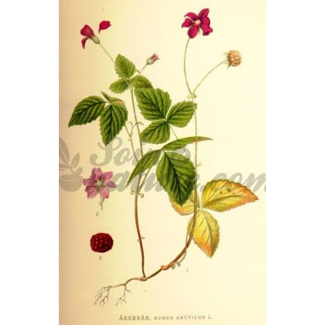 RONCE RONCE FEUILLE COUPEE IPHYM Herboristerie Rubus Sp.