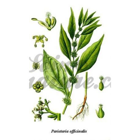CUT PLANT Parietaria Parietaria officinalis L. IPHYM Herbalism