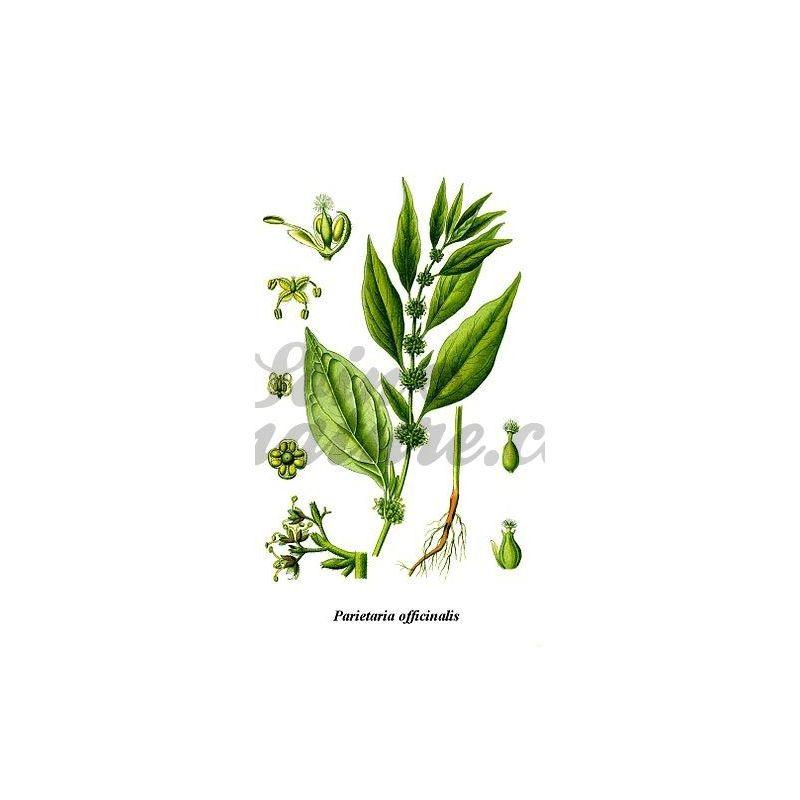 Planta Parietaria Fotos