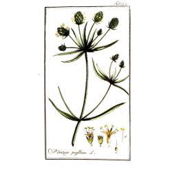 PSYLLIUM NOIR GRAINE IPHYM Herboristerie Plantago psyllium L. / P. indica L.