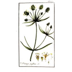 PSYLLIUM SEED PRETO IPHYM Herb Plantago psyllium L. / P. indica L.