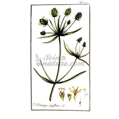 Negro Psyllium - Semilla entera paquete de 250 g