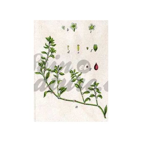 RENOUEE DES OISEAUX PLANTE COUPEE IPHYM Herboristerie Polygonum aviculare L.