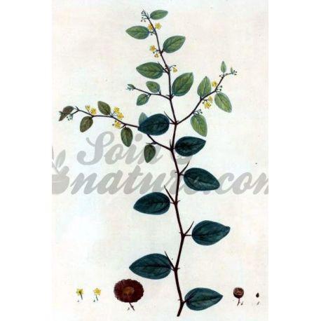 PALIURE FRUIT IPHYM Herboristerie Paliurus aculeatus
