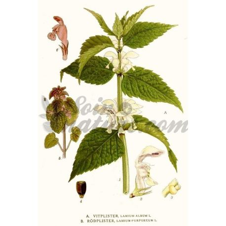 PROVOCAÇÃO Branco luminar (LAMIER) IPHYM Herbalism Lamium album L.