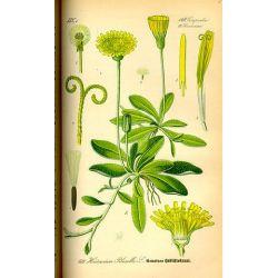 PILOSELLE PLANTE COUPEE IPHYM Herboristerie Hieracium pilosella L.