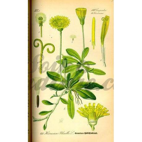 Hawkweed PLANT Hieracium pilosella CUT IPHYM Herb L.