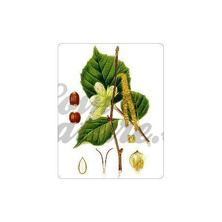 HAZEL LEAF CUT IPHYM Herbalism Corylus avellana L.