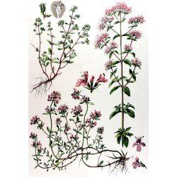 MARJOLAINE folha inteira IPHYM Herb Origanum Majorana