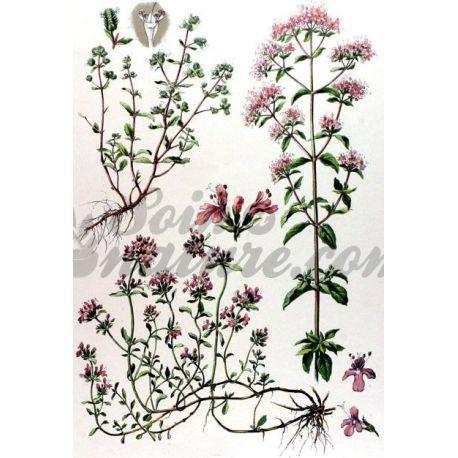 MARJOLAINE FEUILLE ENTIERE IPHYM Herboristerie Origanum majorana