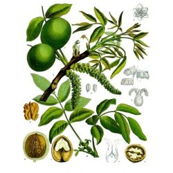 NOYER FEUILLE COUPEE IPHYM Herboristerie Juglans regio L.