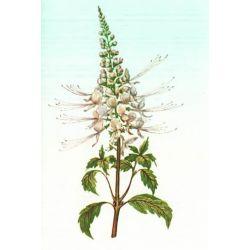 Orthosiphon SHEET CUT IPHYM Herbalism Orthosiphon stamineus B.