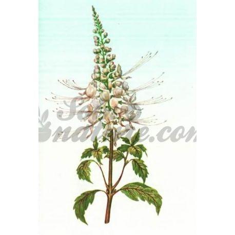 ORTHOSIPHON FEUILLE COUPEE IPHYM Herboristerie Orthosiphon stamineus B.