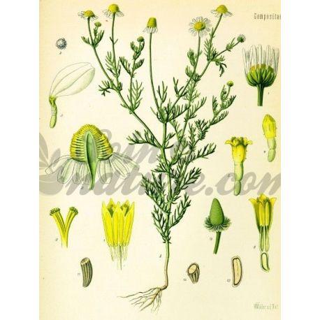 MATRICAIRE EXTRA FLEUR IPHYM Herboristerie Matricaria recutita L.