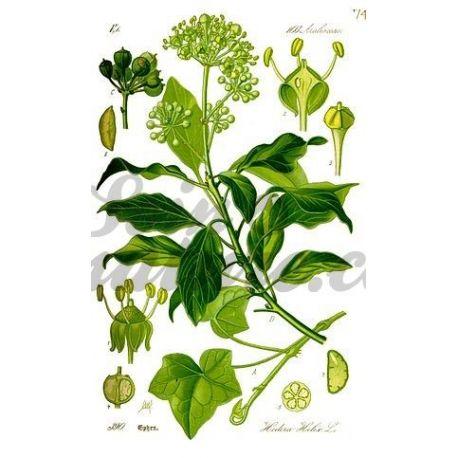 Klimop LEAF CUT IPHYM Herb Hedera helix L.