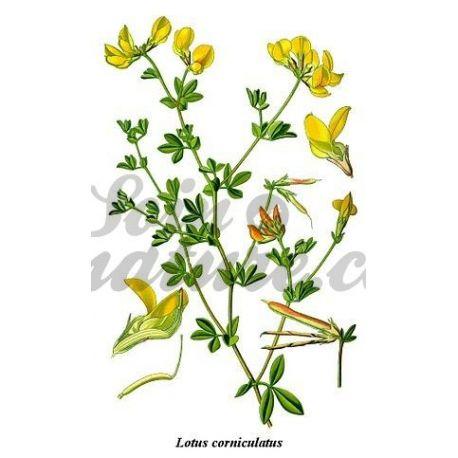 LOTIER CORNICULE ORDINAIRE COUPE IPHYM Herboristerie Lotus corniculatus L.