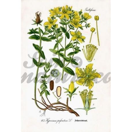 MILLEPERTUIS SOMMITE COUPEE IPHYM Herboristerie Hypericum perforatum L.