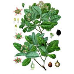 Boldo Cut Sheet IPHYM Herbalism Peumus boldus M.
