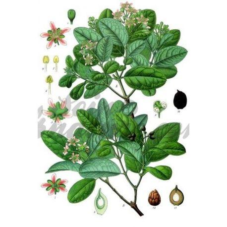 Boldo Leaf cut IPHYM Herbalism Peumus boldus M.
