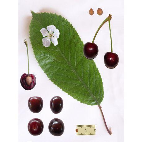 Cerisier Queues de Cerises coupées HERBORISTERIE