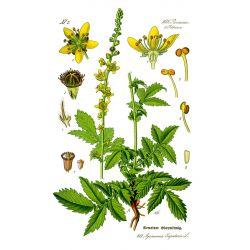 Aigremoine - Plante coupée HERBORISTERIE